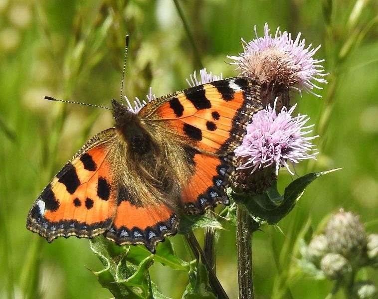 Small Tortoiseshell Wheathampstead 28 Jun