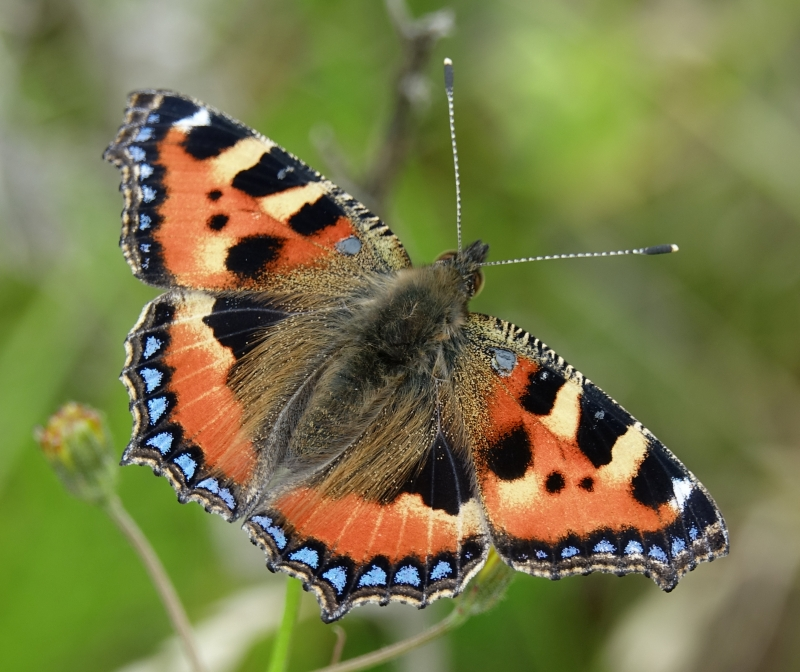Small Tortoiseshell aberration Bengeo 18 Jun