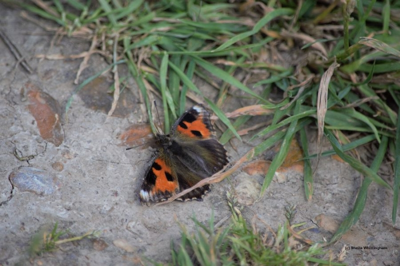Small Tortoiseshell ab Ellenbrook Fields 3 Jul