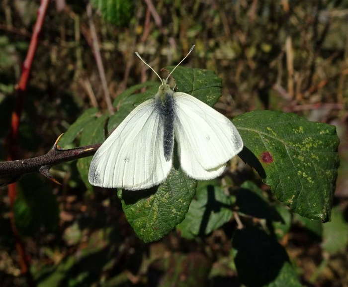 Small White Stanwell Moor 25 Feb