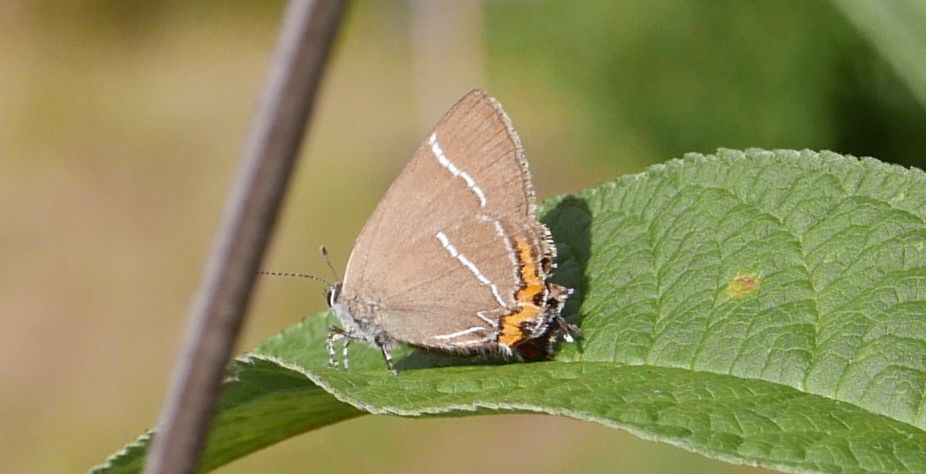 White-letter Hairstreak Bengeo 22 Jul