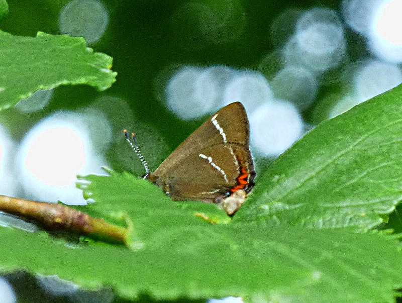 White-letter Hairstreak Six Hills Common 24 Jun