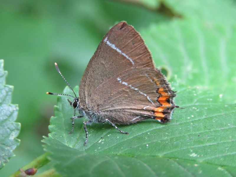 White-letter Hairstreak Six Hills Common 7 Jul