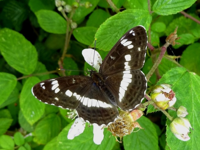 White Admiral Balls Wood 25 Jun
