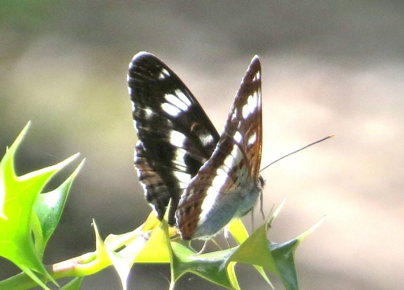 White Admiral Bricket Wood Common 29 Jun