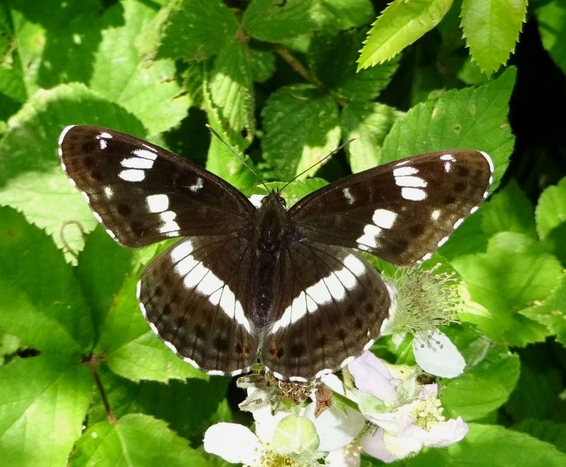 White Admiral Broxbourne Woods 27 Jun