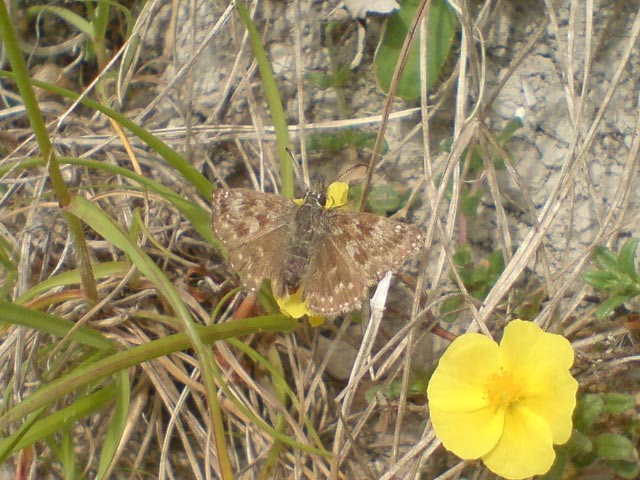 Dingy Skipper 2009 - Darin Stanley