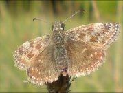 Dingy Skipper 2008 - Darin Stanley