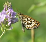 Large Chequered Skipper 2006 - Roger Gibbons