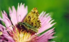 Mallow Skipper 2004 - Clive Burrows