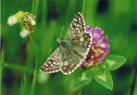 Obethurs Grizzled Skipper 2003 - Clive Burrows