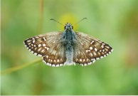 Yellow-banded Skipper 2003 - Clive Burrows