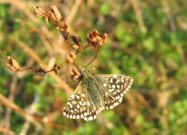 Grizzled Skipper 2006 - Andrew Palmer