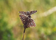Grizzled Skipper mating 2001 - Andrew Middleton