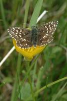 Grizzled Skipper - Colin Sturges