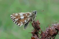 Roosting Grizzled Skipper 2004 - Andrew Middleton