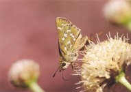 Silver-spotted Skipper 2003 - Clive Burrows