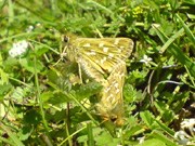 Silver-spotted Skipper 2007 - Darin Stanley