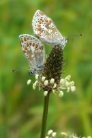 Brown Argus 2009 - Clare Gray