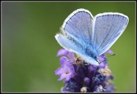Common Blue 2010 - Malcolm Newland