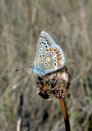 Common Blue 2010 - Dave Miller
