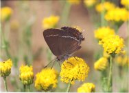 Blue-spot Hairstreak 2003 - Clive Burrows