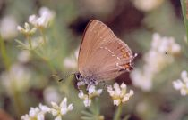 Ilex Hairstreak 2004 - Clive Burrows