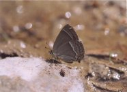 Purple Hairstreak 2003 - Clive Burrows