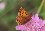Scarce Copper 2003 - Clive Burrows