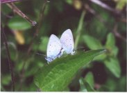 Small Blue mating pair 2001 - Andrew Middleton