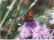 Small Copper 2001 - Andrew Middleton