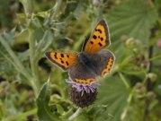 Small Copper 2004 - Lee Browne