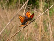 Small Copper mating pair 2005 - David Gompertz