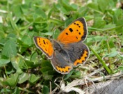 Small Copper 2010 - Dave Miller