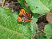 mating Small Copper 2007 - Andrew Middleton