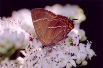 White-letter Hairstreak 2004 - Clive Burrows