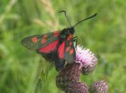 0171 Narrow Bordered Five-spot Burnet 2004 - Archie Lang