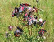 171 Narrow-bordered Five-spot Burnet