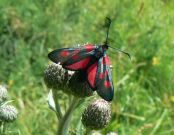 171 Narrow-bordered Five-spot Burnet 2006 - Alan Reynolds