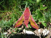 1992 Small Elephant Hawkmoth 2007 - Andrew Palmer
