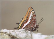 Two-tailed Pasha 2003 - Clive Burrows