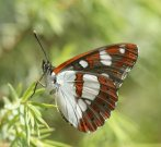 Southern White Admiral 2006 - Roger Gibbons
