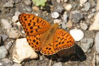 High Brown Fritillary 2006 - Roger Gibbons