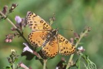 Spotted Fritillary 2001 -Toby Austin