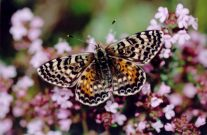 Spotted Fritillary 2005 - Clive Burrows