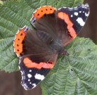 Red Admiral 2002 - Andrew Wood