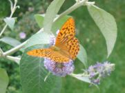 Silver-washed Fritillary 2006 - Andrew Palmer