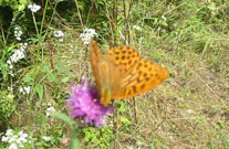 Silver-washed Fritillary 2006 - Peter Clarke