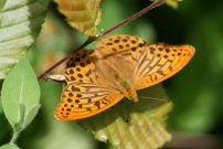 Silver-washed Fritillary 2007 - Clive Burrows
