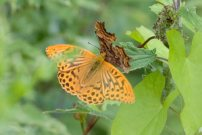 Silver-washed Fritillary 2007 - Colin Sturges